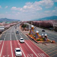 韓国の桜・Gonghang-ro☆江西区・釜山市から