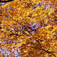 アオハダの名前の由来と黄葉