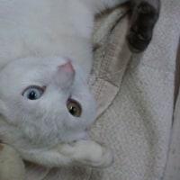 金目銀目の猫
