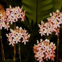 蘭 (花 4249)