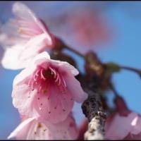 寒緋桜咲きほこる