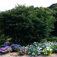 【梅雨】【紫陽花】【見頃】【美しさ】