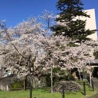 石割桜2017~満開!