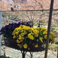 '17春の糖質フェスティバル-5.お花見ランチ-