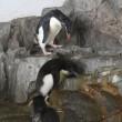 イワトビペンギンひなのお出かけ3