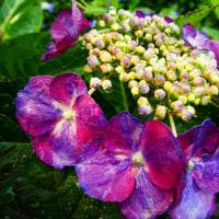 『紫陽花』 雨止んで