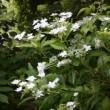 紫陽花 「墨田の花火」 蝉の抜け殻