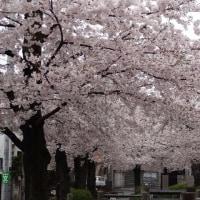 北沢川緑道の桜 2017