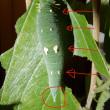 在来種ゴマダラチョウと外来種アカボシゴマダラの比較など