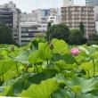 真夏の不忍池の蓮