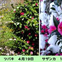 椿と山茶花の見分け