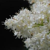冬芽の観察111ハシドイ2