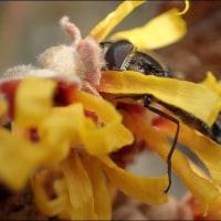 今冬のマンサクと昆虫(13)