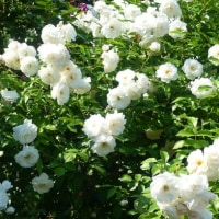 ご近所の薔薇公園    ~その2