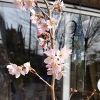 だんだん咲いてきた桜たち