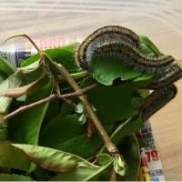 エゾシロチョウの蛹、第1号!