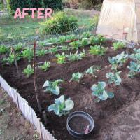 10月25日・ダイコンの畝草取り追肥完了!