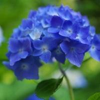咲き始めた我が家の紫陽花