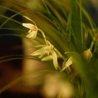 蘭 (花 4245)