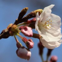 利根運河桜開花情報2017・03・30開花しました!!
