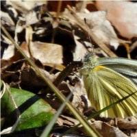 瑠璃小灰蝶、筋黒白蝶、紅小灰蝶など