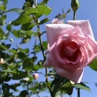 真昼のバラ18枚 10月27日撮影