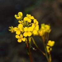 残る紅葉 と 春の花(シキミ、菜の花、ユキヤナギ)