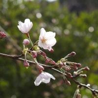 桜(ソメイヨシノ)開花!