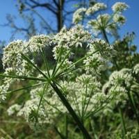 アイルランド: 危険な植物
