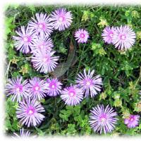 初夏の花壇や石垣などに…(^^♪キクみたいなかわいらしい花を咲かせる「マツバギク(松葉菊)」
