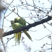 春になれば、こんなこともあるワカケホンセイインコ。