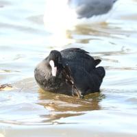頭を掻く野鳥たち オオバン