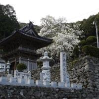 ハクモクレン(白木蓮) ~向栄山 正光寺~