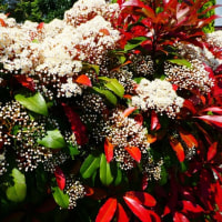 『季節の花』 レッドロビン