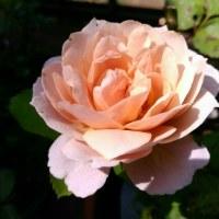 いおり薔薇と葉切り蜂の美技
