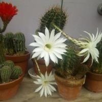 なかなか咲かない、咲いたらすぐしぼむ、注意していないと通り過ぎる。それがサボテンだ。