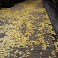 黄色のじゅうたんと紅葉と