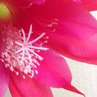 クジャクサボテンの花が咲いたーその2