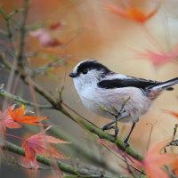 岡崎公園の白いシジュウカラ その60