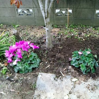 夏越ししたシクラメンがようやく咲きました
