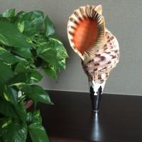 2月上旬~下旬にかけてFBに掲載した法螺貝写真をブログにボぅっ~と!まとめちゃいました。