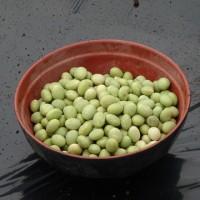 肴豆(サカナマメ)を蒔きました