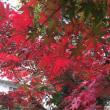 にれの木も紅葉始まる