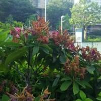 石楠花の実