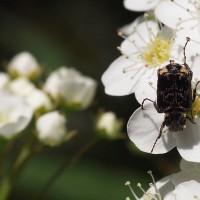 コデマリでお食事中 甲虫 / アブ / ハチ / チョウ