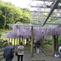 蓮華寺池公園、藤祭り