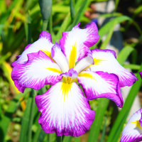 極楽をこの世で拝める善光寺と優美に彩る花しょうぶまつり④