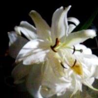 《白い花》百合