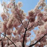 桜の雑学!