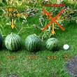 庭に植えた西瓜の試食(2回目)